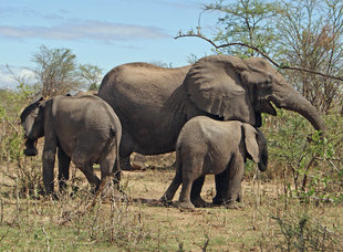 Elephants in Ruaha National Park - Ralph Pannell