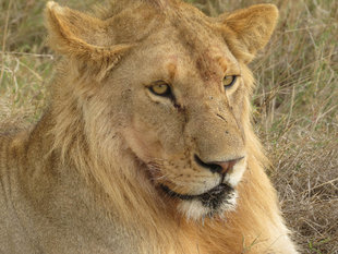 Lion in Selous Game Reserve - Howard & Sarah Bruce