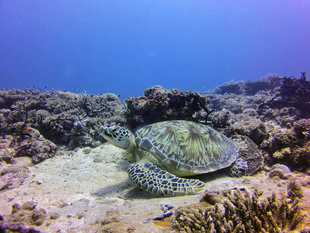 Turtle in Chole Bay, Mafia Island - Bjoern Koth