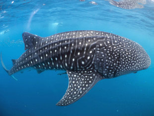 Whale Shark in Mafia Island - Dr Simon Pierce