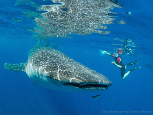Citizen Science Snorkelling with Whale Shark Isla Mujeres Mexico Afuera - Dr Simon Pierce Aqua-Firma / Marine Megafauna Foundation