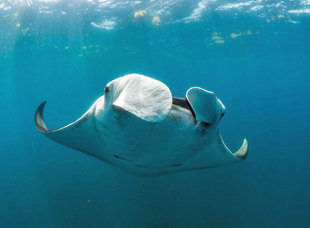 Snorkelling with an Atlantic Giant Manta Ray - underwater photography by whale shark researcher Dr Simon Pierce citizen science programme Aqua-Firma MMF