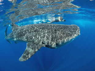 Snorkelling with whale sharks in Isla Mujeres citizen science holiday with Aqua-Firma - underwater photography workshops by Dr Simon Pierce MMF