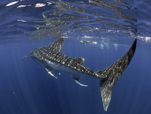 Whale Shark Research in Isla Mujeres - Underwater Photography by Dr Simon Pierce