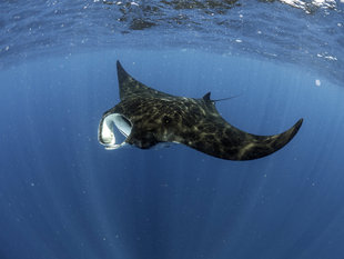 Snorkelling with an Atlantic Giant Manta Ray during Aqua-Firma Whale Shark Research & Photography Citizewn Science holiday in Mexico Yucatan off Islan Mujeres / Cancun - photograph by  Dr Simon Pierce Marine Megafauna Foundation