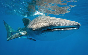 Snorkelling with whale shark in Mexico off Isla Mujeres - Dr Chris Rohner