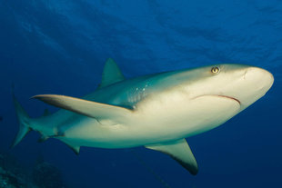 Reef Shark Turks and Caicos Islands Caribbean