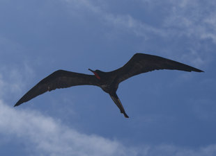 frigate-bird-galapagos-wildlife-yacht-safari.jpg