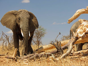 Elephant in Tarangire National Park - Ralph Pannell