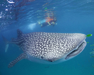 Snorkelling with Whale Sharks - Dr Simon Pierce