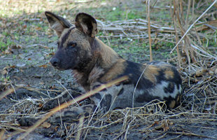 African Wild Hunting Dog in Selous Game Reserve - Peter Thomas