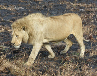 Lion in Ngorongoro Crater National Park - Ralph Pannell