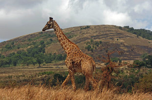 Giraffe in Ngorongoro Crater National Park - Ralph Pannell