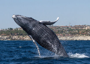 Humpback Whale on Baja California Whale Watching Voyage