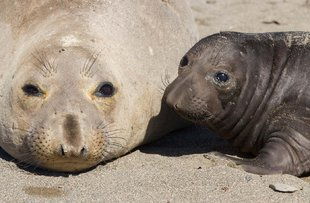 Northern Elephant Seals in Baja California, Mexico