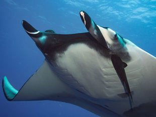 Diving with Giant Manta Rays in the Socorro Islands - Bob Dobson