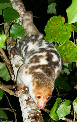 Cuscus in Raja Ampat - Ralph Pannell