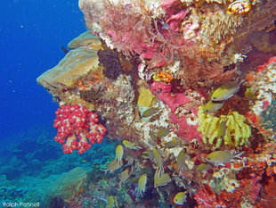Coral Wall in Raja Ampat - Ralph Pannell