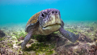 Snorkelling in the Galapagos with Green Turtle