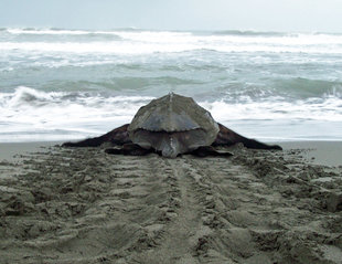 Leatherback Turtle in Tortuguero National Park