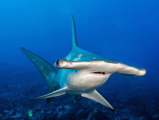 Scalloped Hammerhead Shark at Cocos Island National Park