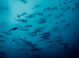Schooling Hammerhead Sharks at Cocos Island National Park