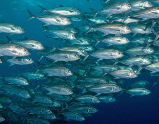 Schooling Fish at Cocos Island National Park