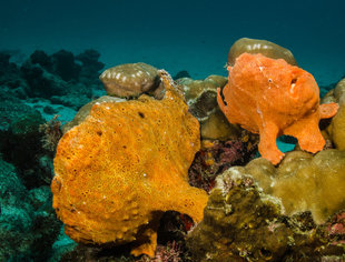 Frogfish at Cocos Island National Park