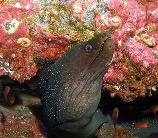 Moray Eel at Cocos Island National Park