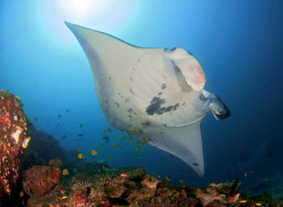 Manta-Ray-Komodo-Island-National-Park-Indonesia-coral-reef-dive-liveaboard-voyage-vacation-holiday-scuba-diving-adventure-travel-underwater-macro-photography.jpg