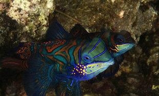 Mandarinfish are best found where coral is denuded