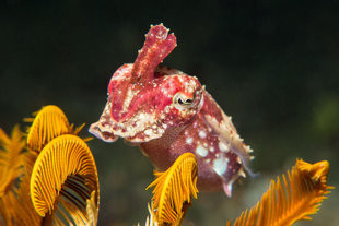 Cuttlefish Raja Ampat QWest Papua Diving holidays and travel Indonesia