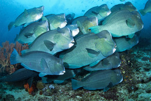 Bumpheads of Raja Ampat West Papua diving and travel Gerald Rambert underwater photography