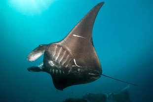 Manta Ray in the Banda Sea Dive Liveaboards with AQUA-FIRMA