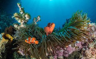 Anemone Fish - a classic target for underwater photographers