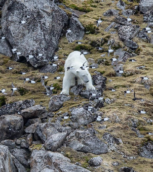 Polar Bear in Little Auk Colony, Spitsbergen - Jordi Plana
