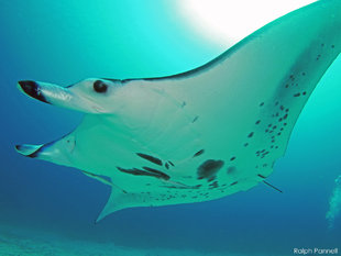Manta Ray Mobula Alfredi Raja Ampat, Indonesia / underwater photography by Ralph-Pannell