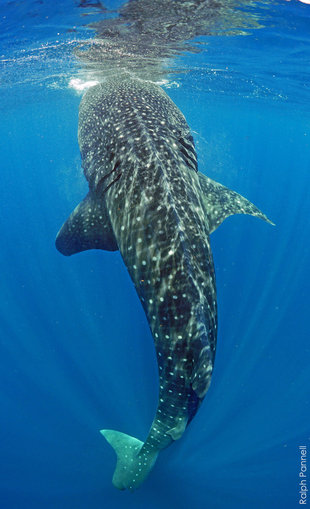 Whale Shark Vertical feeding Mexico, photo by Ralph Pannell