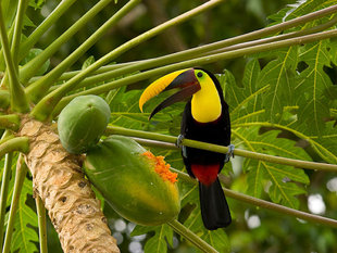 Toucan in Corcovado National Park