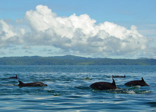 Dolphins at Cano Island