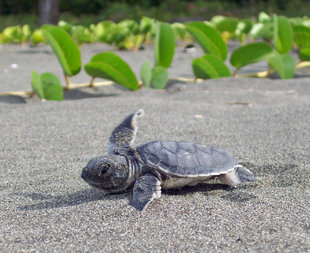 Newly Hatched Turtle in Tortuguero National Park