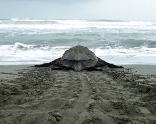 Leatherback Turtle in Pacuare Reserve, Tortuguero National Park