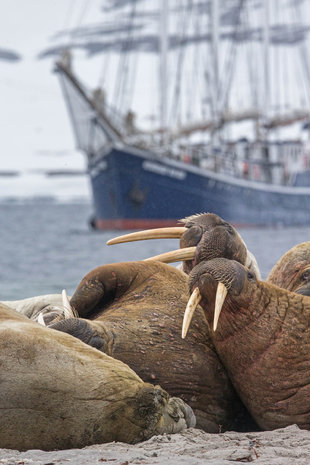 Walrus with sailing ship in Spitsbergen - Jordi Plana