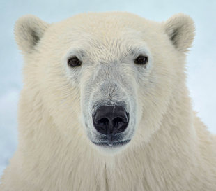 polar-bear-special-north-spitsbergen-longyearbyen-svalbard-gallery-voyage-expedition-landscape-photography-cruise-holiday-vacation-wildlife-louise-morgan-crop.jpg