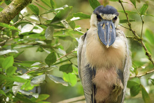 Boat Billed Heron in Arenal Volcano National Park