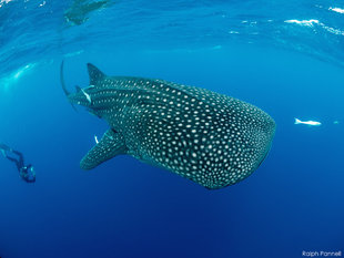 Sexing a Whale Shark - Research in Madagascar