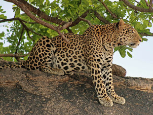Leopard in Ruaha National Park - Peter Thomas