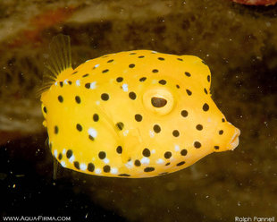 Yellow Boxfish - Macro Photography (c) Ralph Pannell