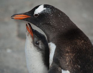 Gentoo Mother & Chick