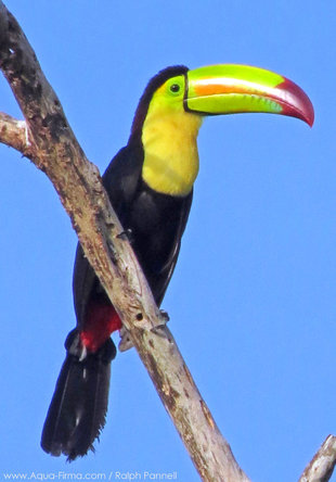 Keel Billed Toucan in Yucatan Peninsula - Mexico birdwatching wildlife photography by Ralph Pannell